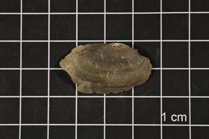 Primary view of object titled 'Toxolasma texasense, Specimen #1122'.