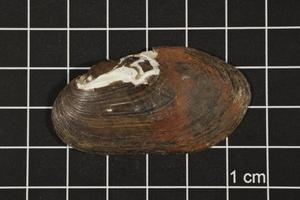 Primary view of object titled 'Ligumia subrostrata, Specimen #540'.