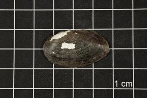 Primary view of object titled 'Toxolasma texasense, Specimen #1208'.