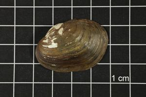 Primary view of object titled 'Toxolasma texasense, Specimen #1209'.