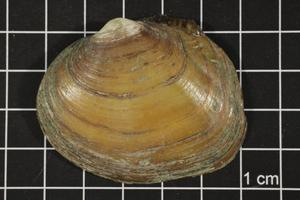Primary view of object titled 'Quadrula aurea, Specimen #1617'.