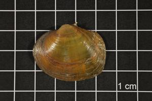 Primary view of object titled 'Quadrula aurea, Specimen #1632'.