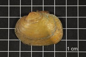 Primary view of object titled 'Quadrula aurea, Specimen #1635'.