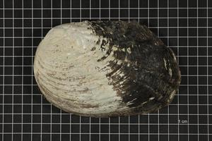 Primary view of object titled 'Megalonaias nervosa, Specimen #1644'.