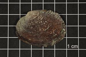 Megalonaias nervosa, Specimen #1654