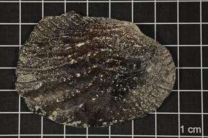 Megalonaias nervosa, Specimen #1672