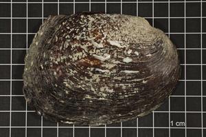 Megalonaias nervosa, Specimen #1676