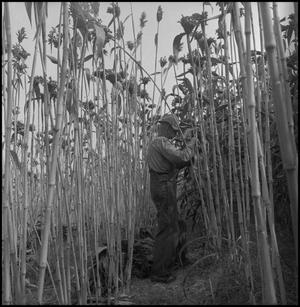 Primary view of object titled '[Man removing sorghum leaves(3)]'.