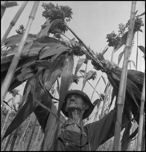 Primary view of object titled '[Man removing sorghum leaves(4)]'.