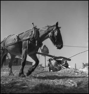 Primary view of object titled '[Mule driven sorghum mill(1)]'.