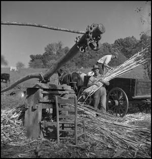 Primary view of object titled '[Unloading a wagon of sorghum cane]'.