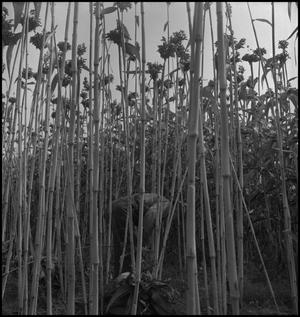 Primary view of object titled '[Man in sorghum cane field]'.