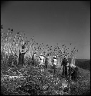 Primary view of object titled '[Group harvesting sorghum cane]'.