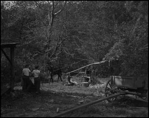 Primary view of object titled '[Mule powered press in the woods]'.