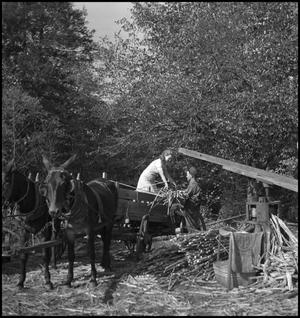 Primary view of object titled '[Unloading sorghum from wagon]'.
