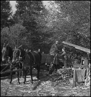 Primary view of object titled '[Unloading sorghum from wagon(2)]'.
