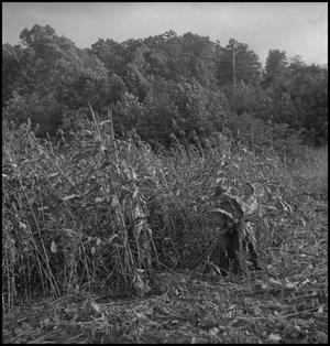 Primary view of object titled '[Two men harvesting sorghum]'.