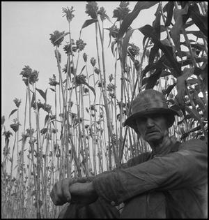 Primary view of object titled '[Man sitting in sorghum field(1)]'.