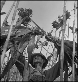 Primary view of object titled '[Man removing sorghum leaves]'.