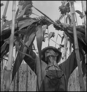 Primary view of object titled '[Man removing sorghum leaves(6)]'.