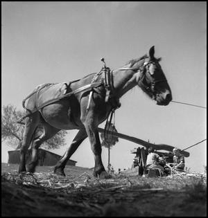 Primary view of object titled '[Mule driven sorghum mill(2)]'.