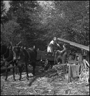Primary view of object titled '[Unloading sorghum from wagon(1)]'.