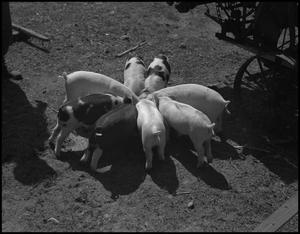 Primary view of object titled '[Pigs feeding]'.