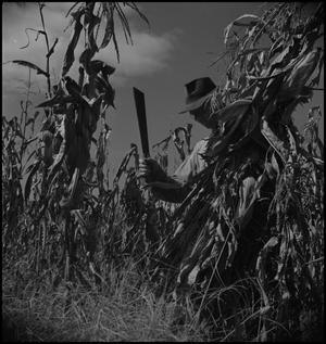 Primary view of object titled '[Cutting corn stalks]'.