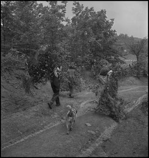 Primary view of object titled '[Collecting mountain laurel, rhododendron, and pine-baugh]'.