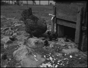 Primary view of object titled '[Hen and baby chicks]'.