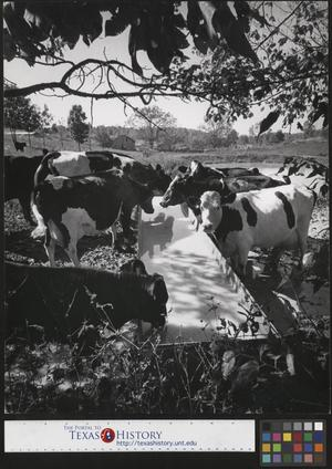 Primary view of object titled '[Cows at feed trough in Lynchburg Tennessee]'.