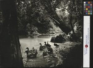 Primary view of object titled 'Ducks in Mulberry Creek, Lynchburg Tennessee'.