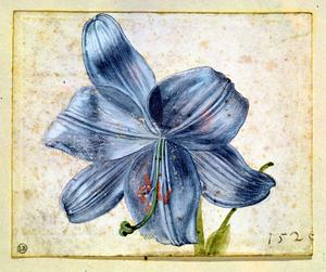 Primary view of Study of a Lily