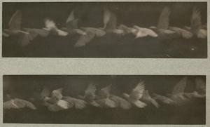 Analysis of the Flight of a Pigeon by the Chronophotographic Method