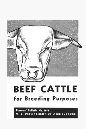 Beef cattle for breeding purposes.