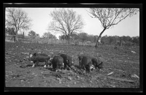 Primary view of object titled '[A group of piglets eating]'.