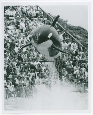 Primary view of object titled '[Shamu Jumping in San Diego]'.