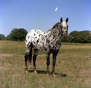 Primary view of object titled '[Photograph of Appaloosa]'.