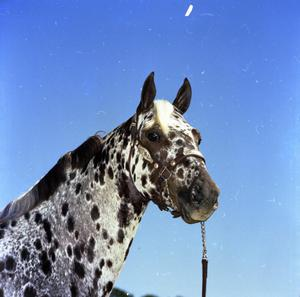 Primary view of object titled '[Photograph of Appaloosa on Ernesto Romero Ranch]'.