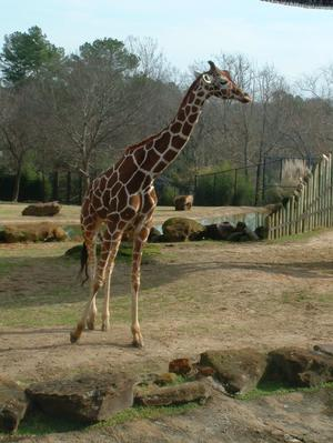 Primary view of object titled '[Giraffe]'.