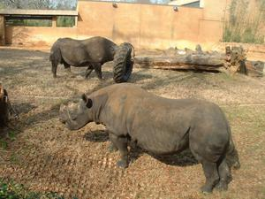Primary view of object titled '[Two rhinos and a tire]'.