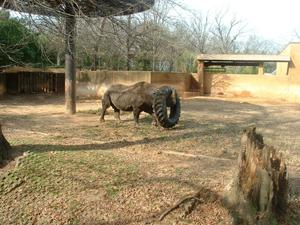 Primary view of object titled '[Rhino and tractor tire]'.