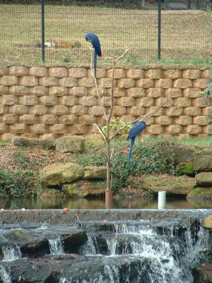Primary view of object titled '[Two blue parrots]'.