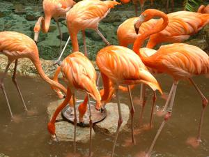 Primary view of object titled '[Flamingos feeding]'.