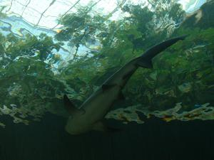 Primary view of object titled '[Shark swims downward]'.