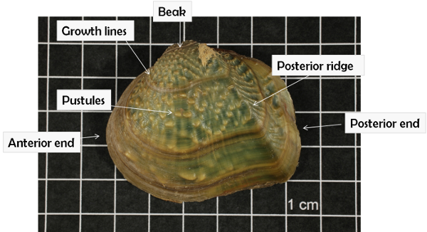 Exterior mussel shell features